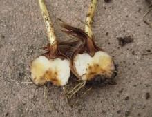 Fusarium oxysporum f. sp. gladioli